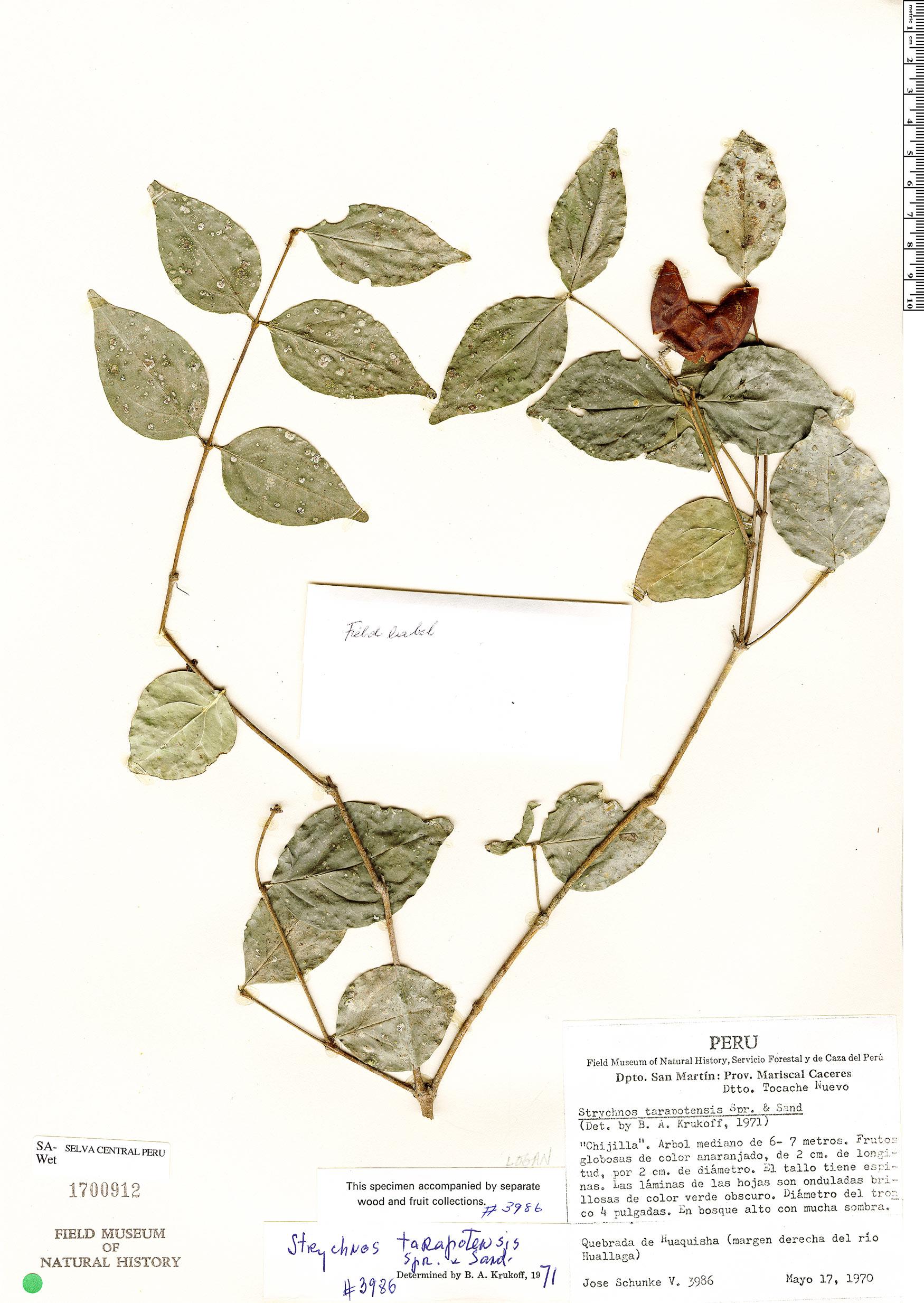Specimen: Strychnos tarapotensis