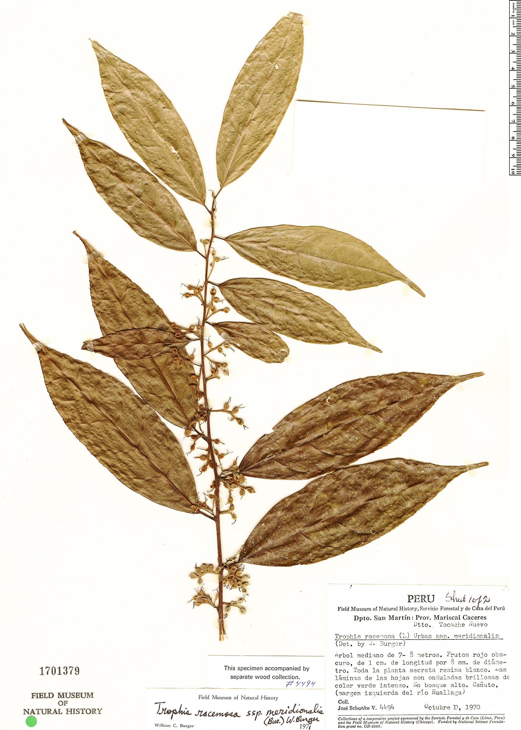 Specimen: Trophis racemosa