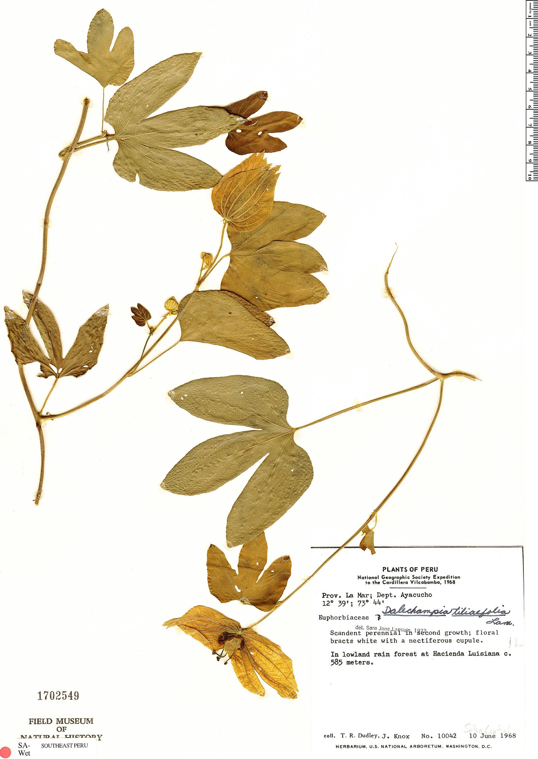 Specimen: Dalechampia tiliifolia
