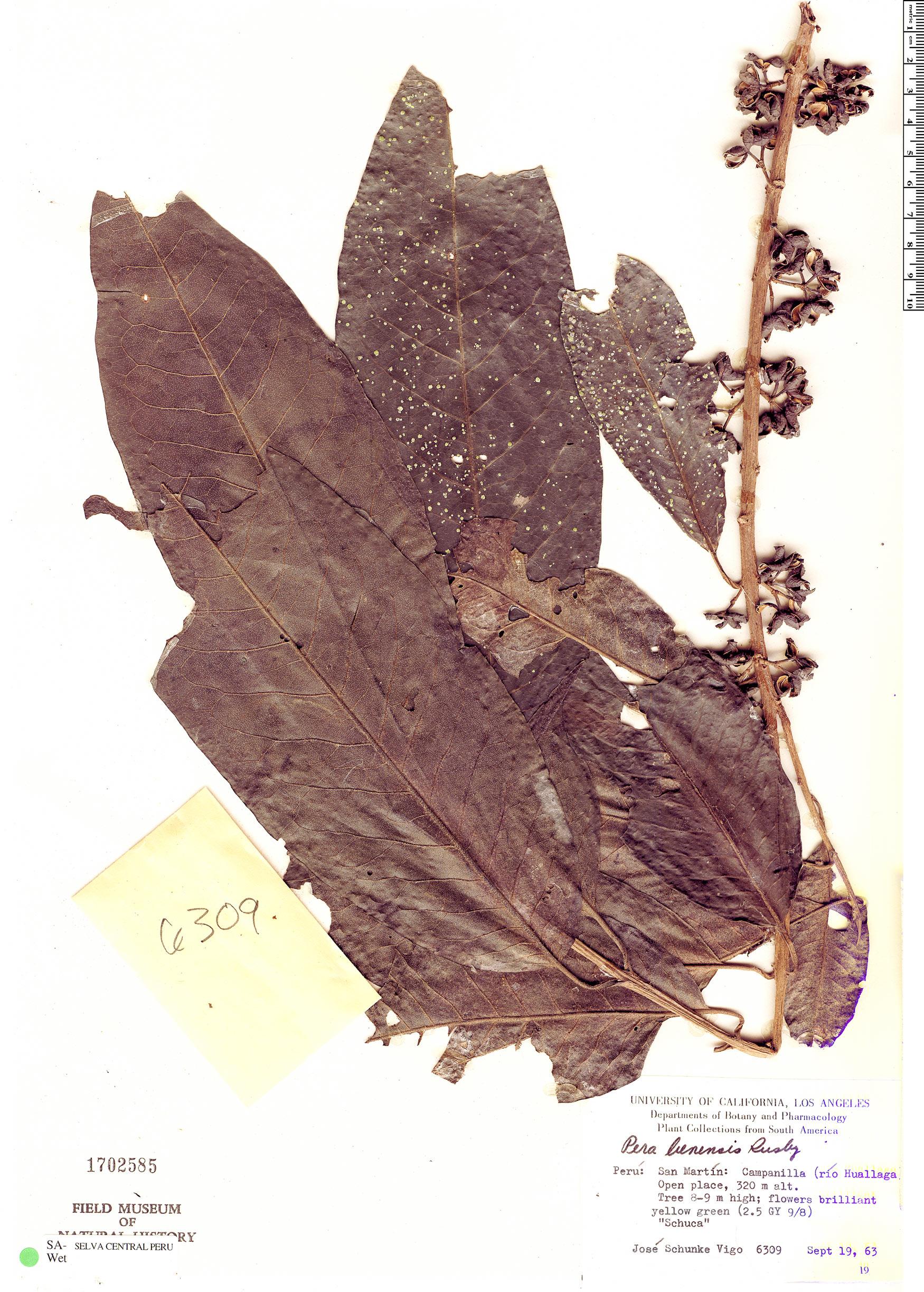 Specimen: Pera benensis
