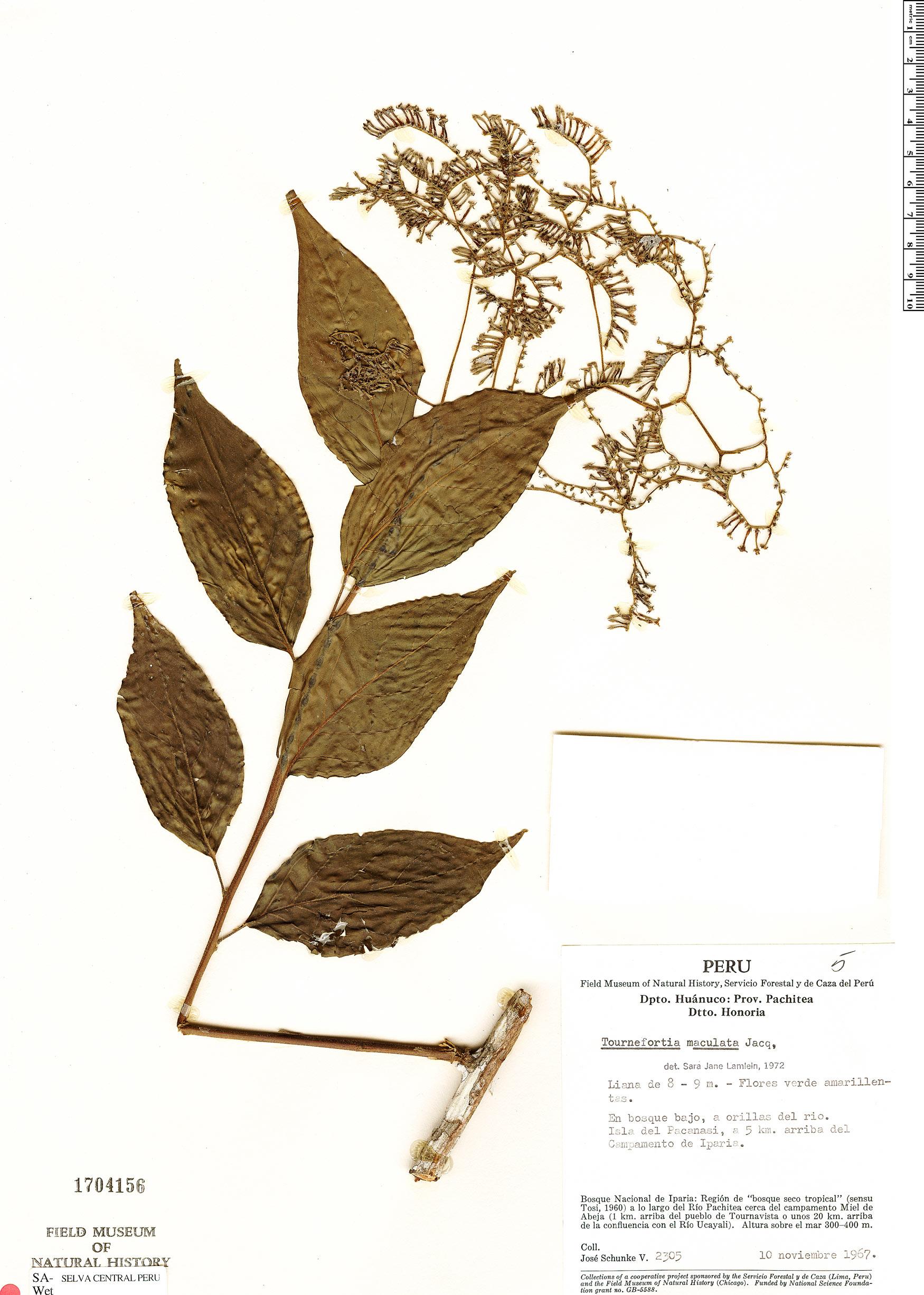 Espécimen: Tournefortia maculata