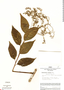 Tournefortia maculata Jacq., Peru, J. Schunke Vigo 2305, F