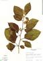 Image of Solanum subinerme
