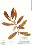 Virola michelii, Suriname, B. Maguire 54419, F
