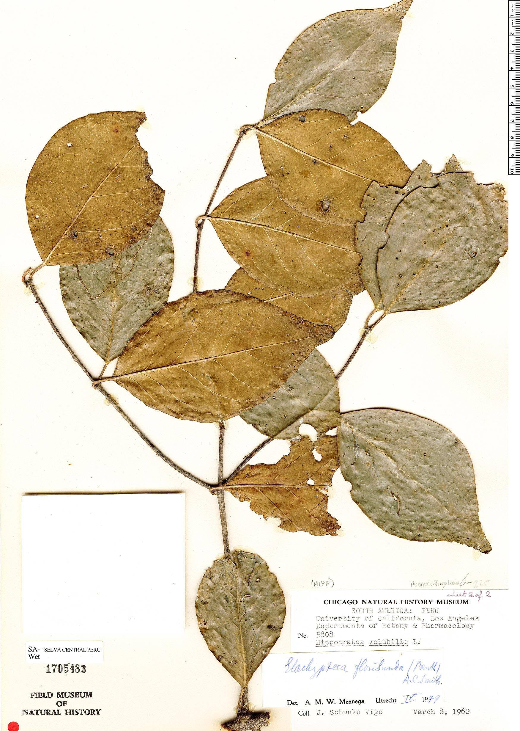 Specimen: Elachyptera floribunda