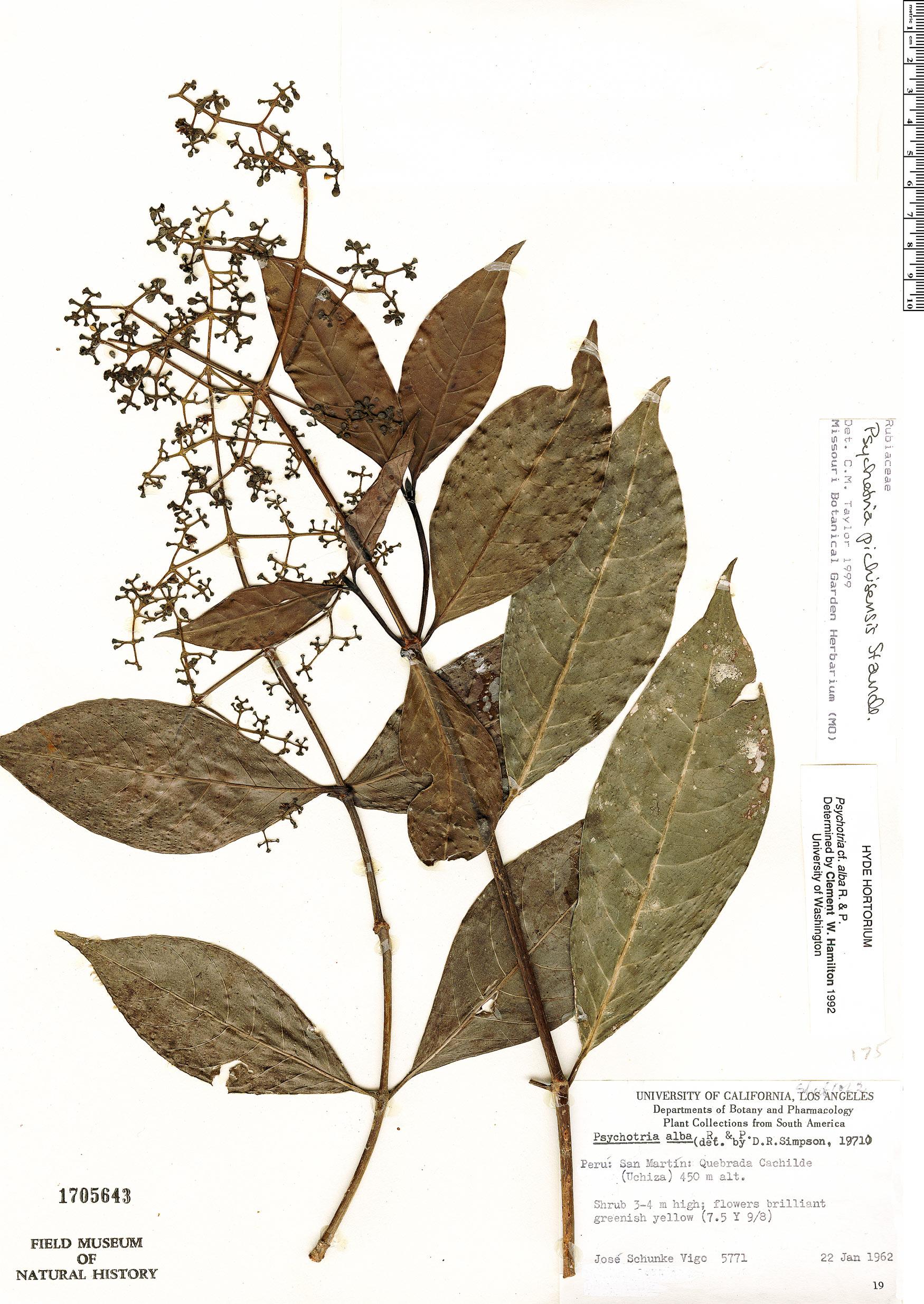 Specimen: Psychotria pichisensis