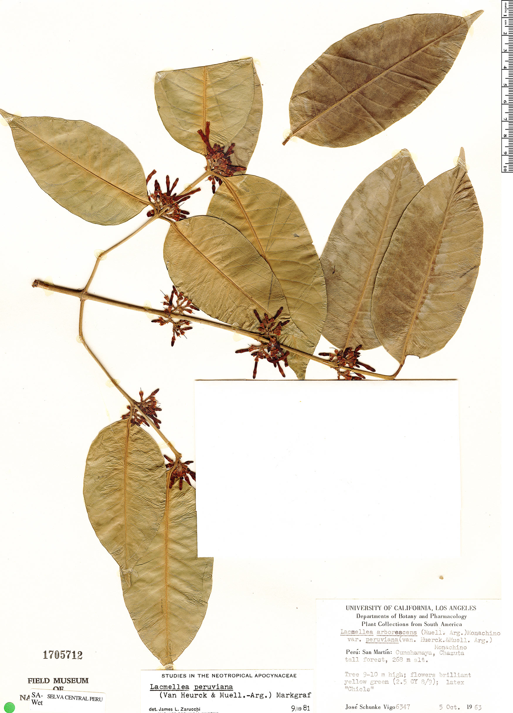 Specimen: Lacmellea peruviana