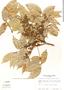 Tetragastris panamensis (Engl.) Kuntze, Panama, R. B. Foster 942, F