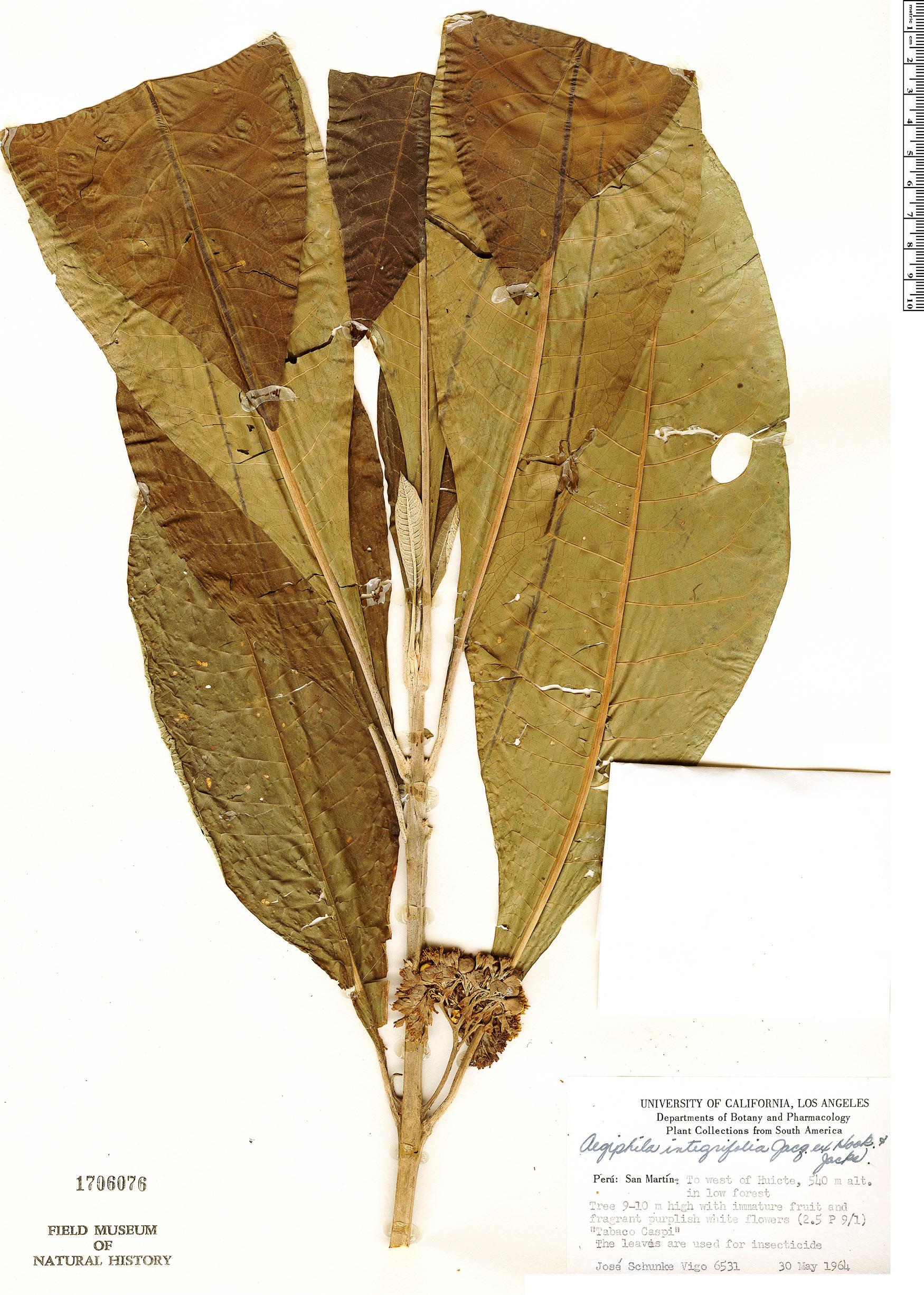 Specimen: Aegiphila integrifolia