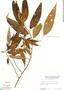 Phenax angustifolius, Peru, M. E. Mathias 5903, F