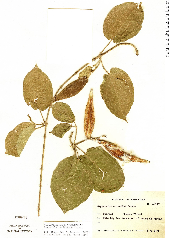 Specimen: Oxypetalum erianthum