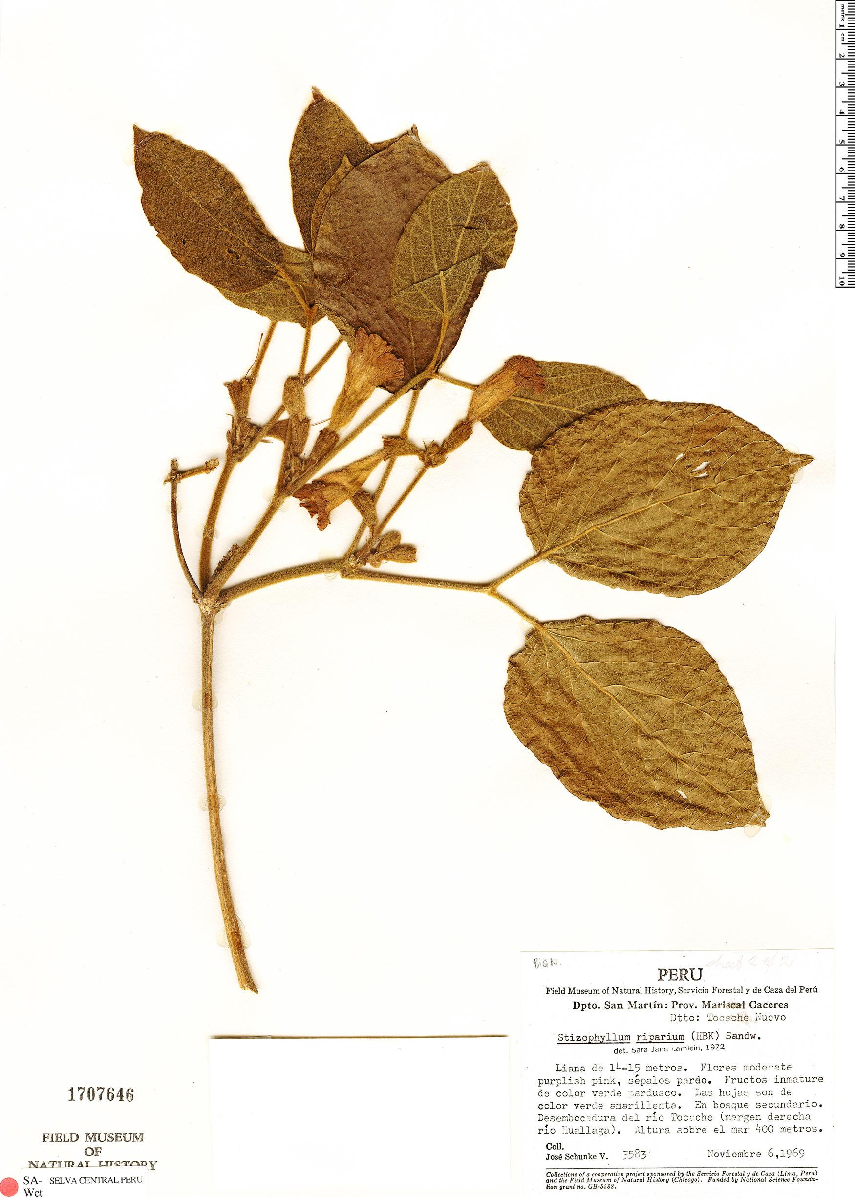 Specimen: Stizophyllum inaequilaterum