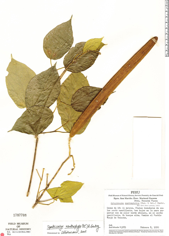 Specimen: Tanaecium xanthophyllum
