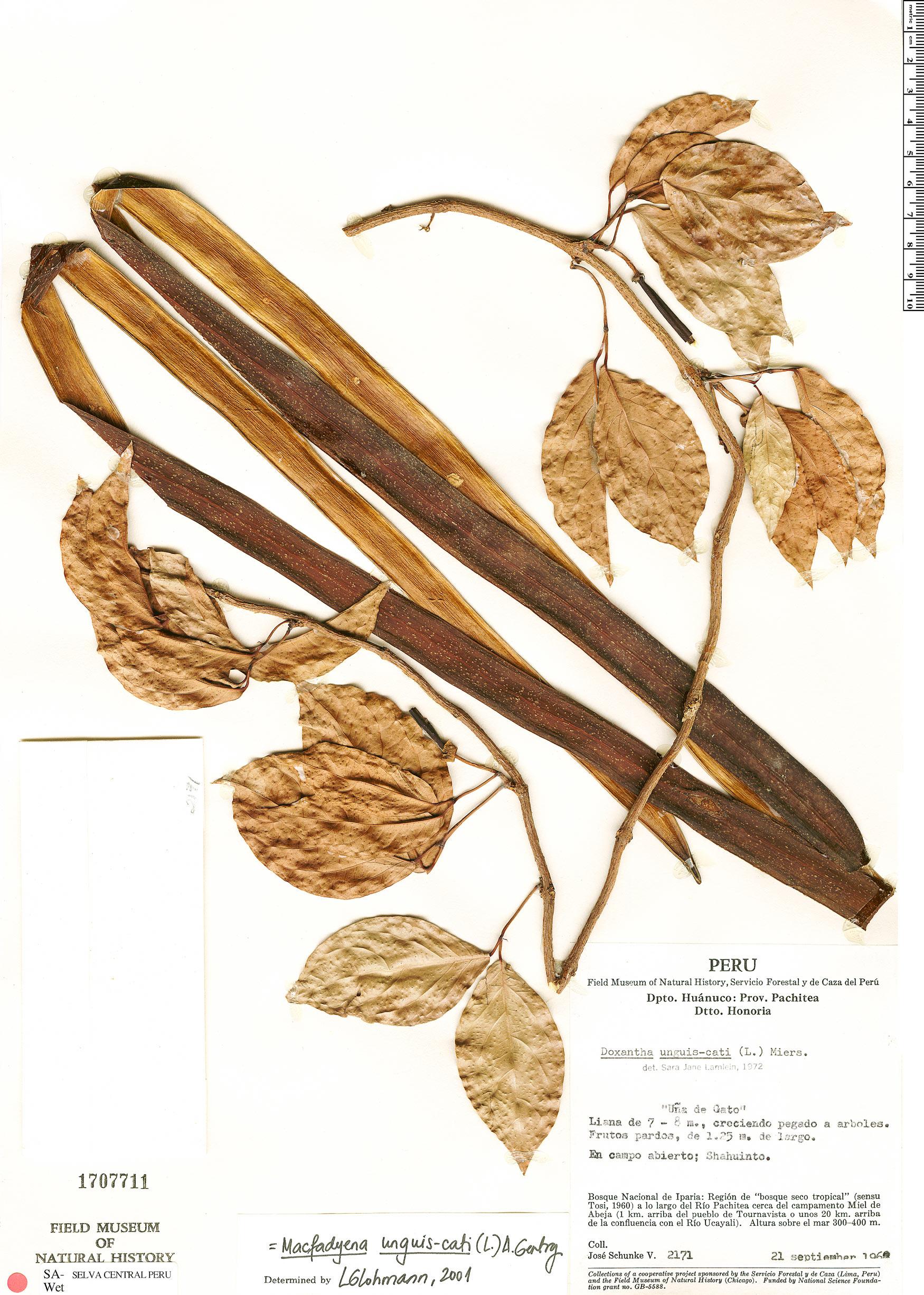 Specimen: Dolichandra unguis-cati