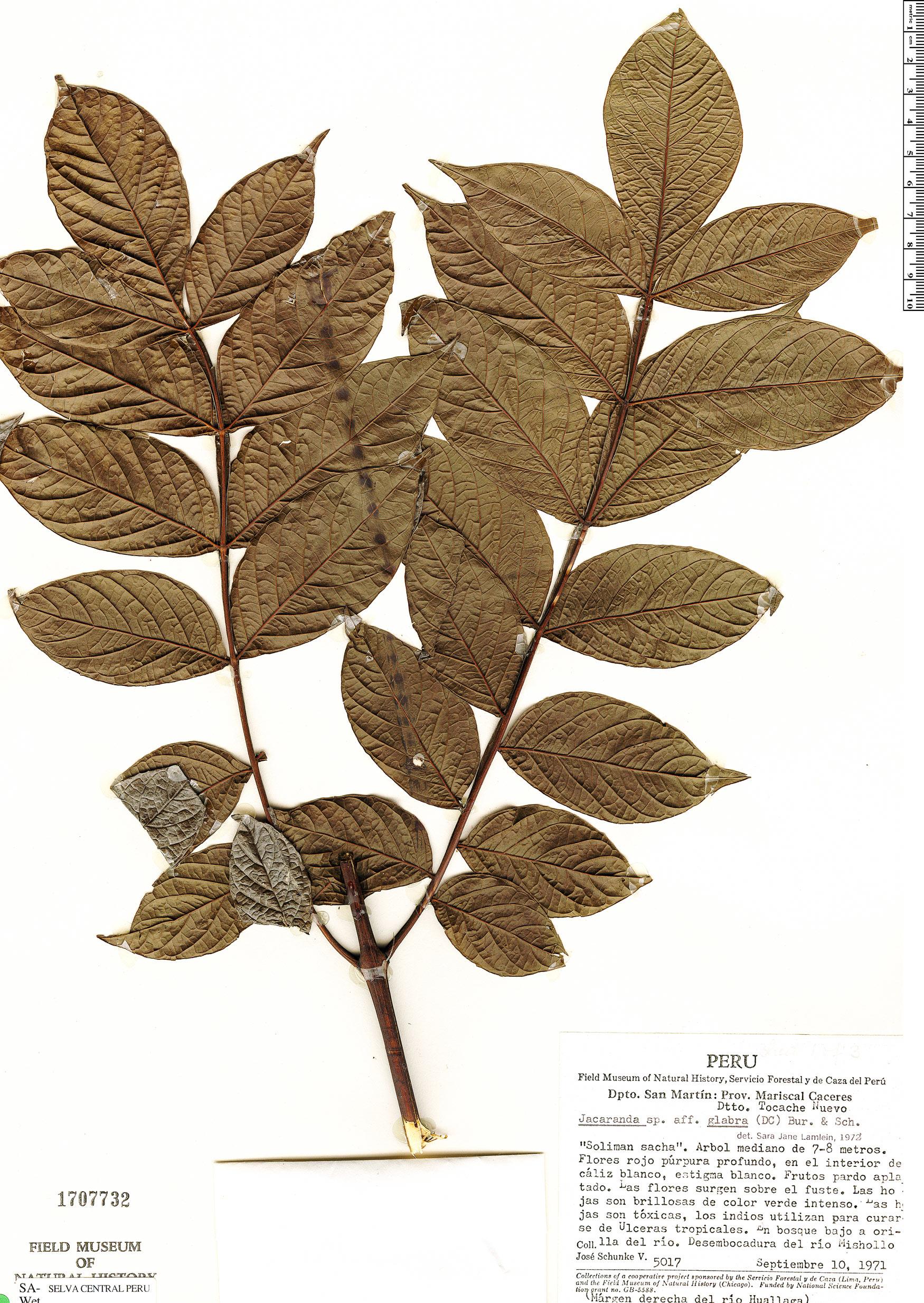 Specimen: Jacaranda glabra