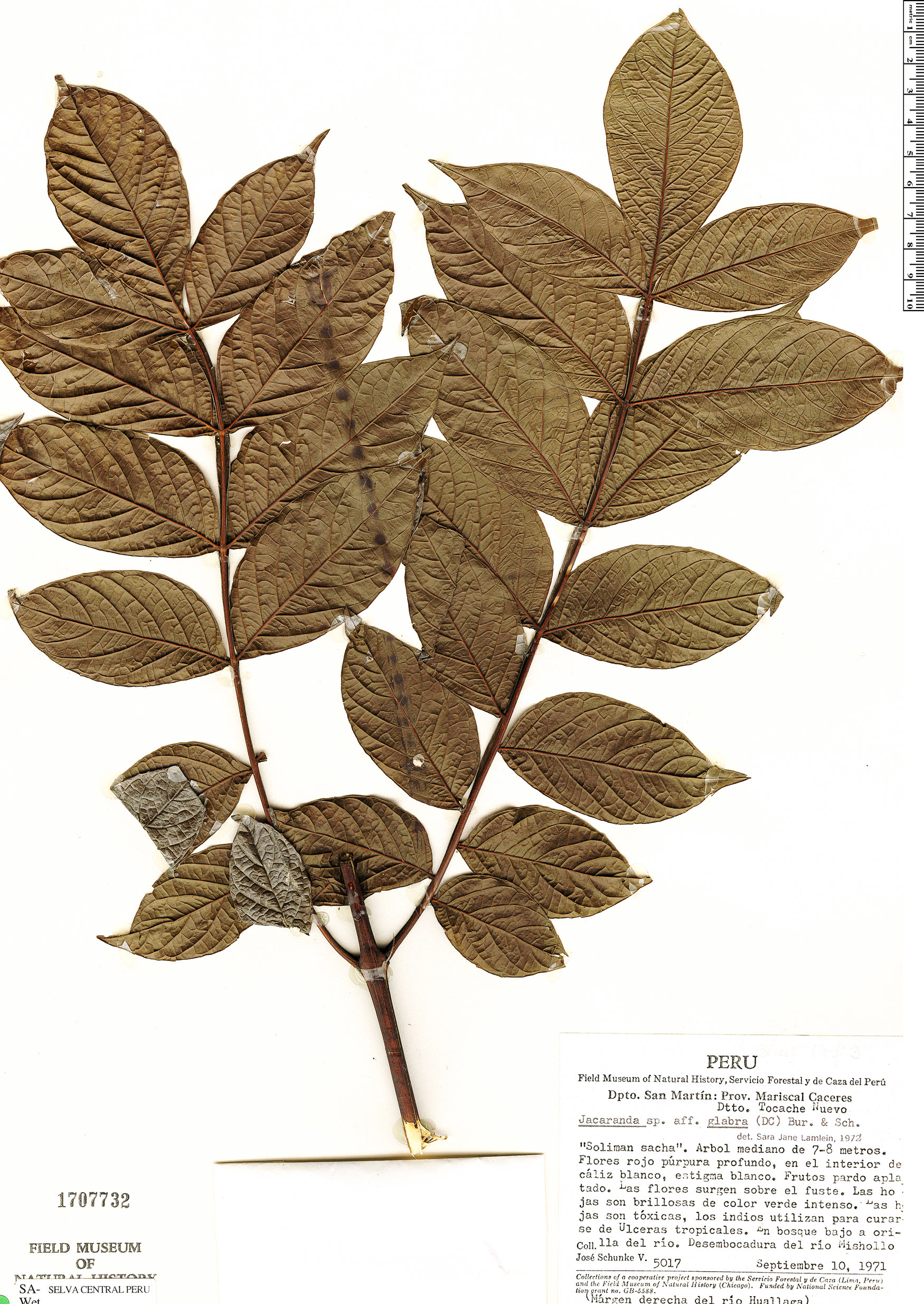 Espécime: Jacaranda glabra