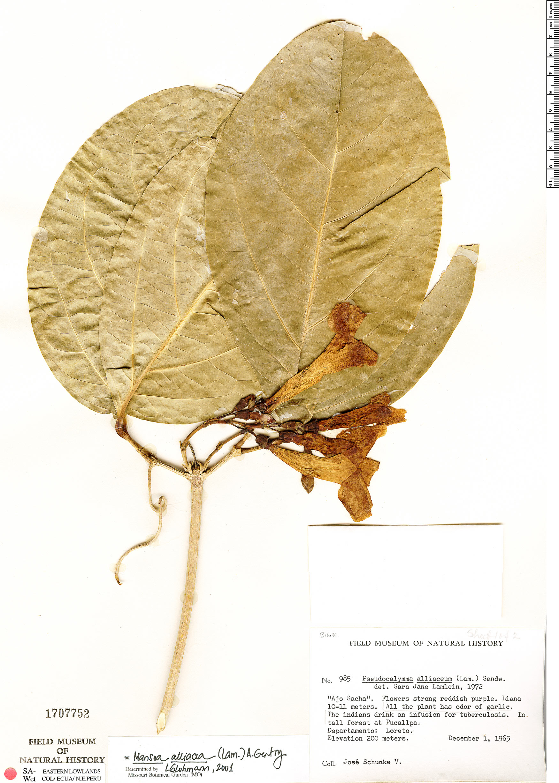 Espécimen: Mansoa alliacea
