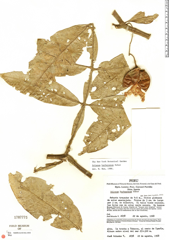 Specimen: Solanum barbeyanum