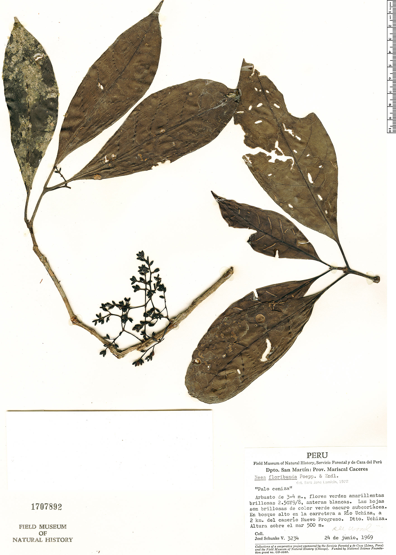 Specimen: Neea floribunda