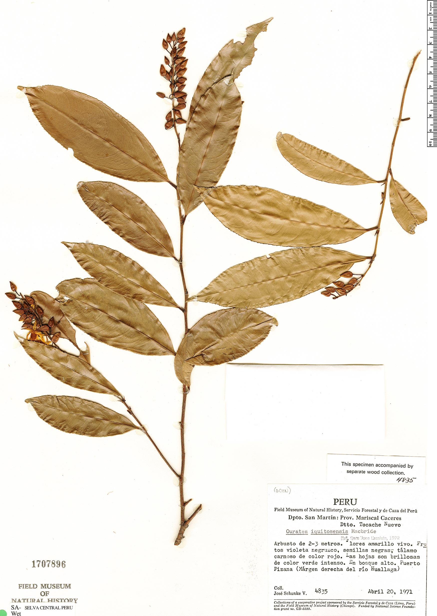 Specimen: Ouratea iquitosensis