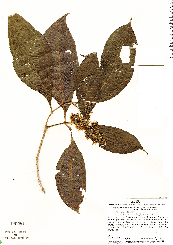 Specimen: Miconia affinis