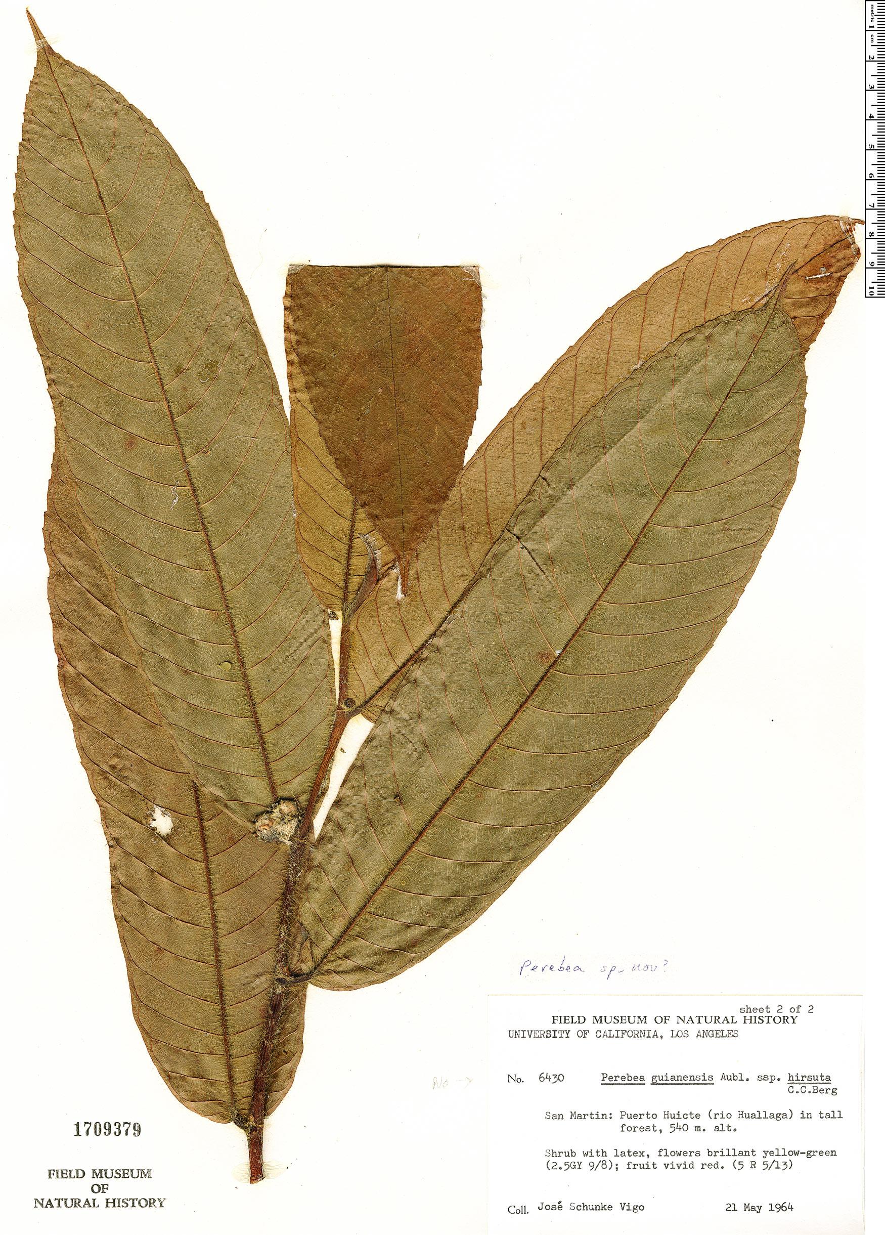 Specimen: Perebea guianensis