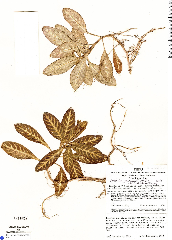 Specimen: Aphelandra goodspeedii