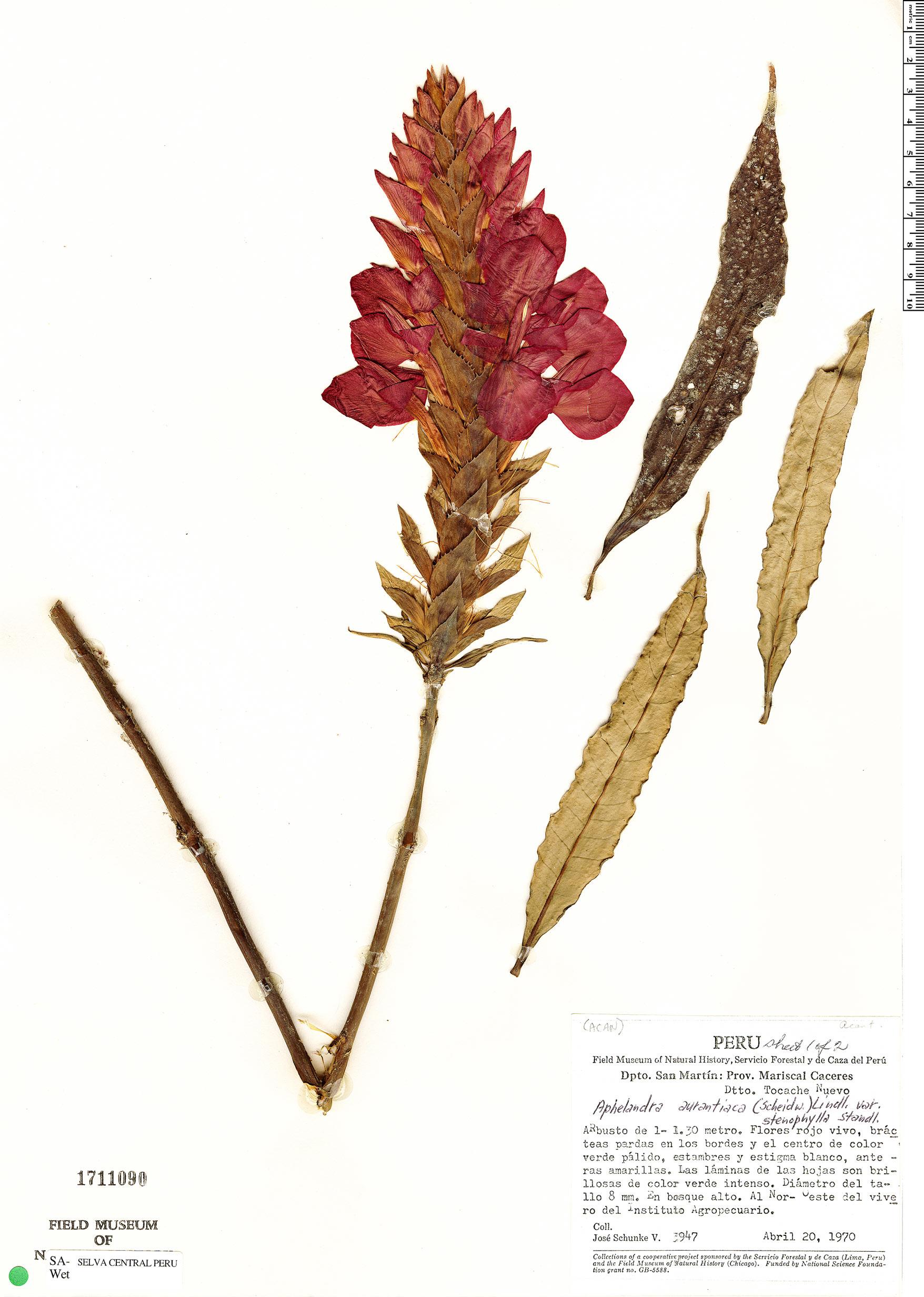 Specimen: Aphelandra aurantiaca