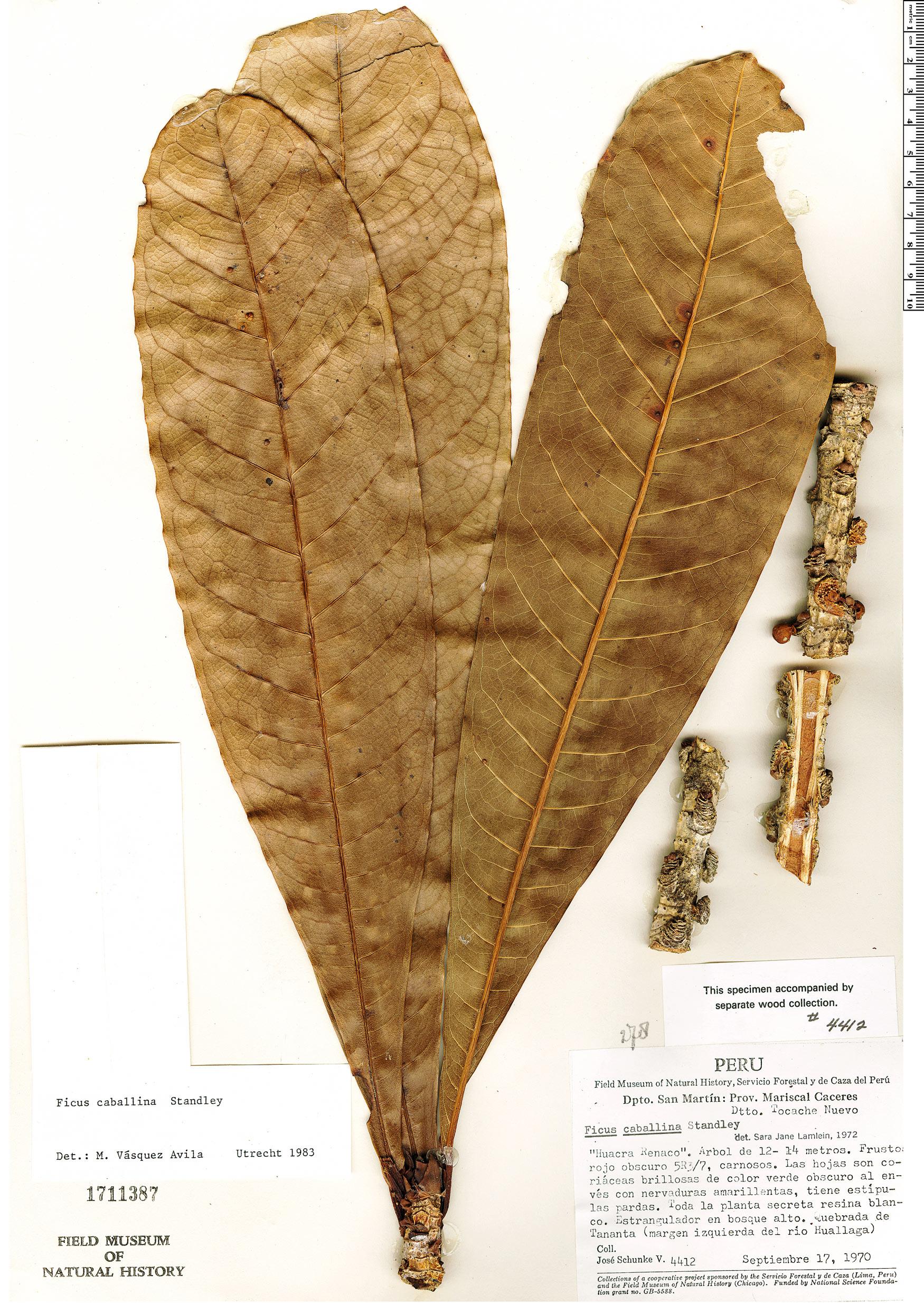 Espécime: Ficus caballina