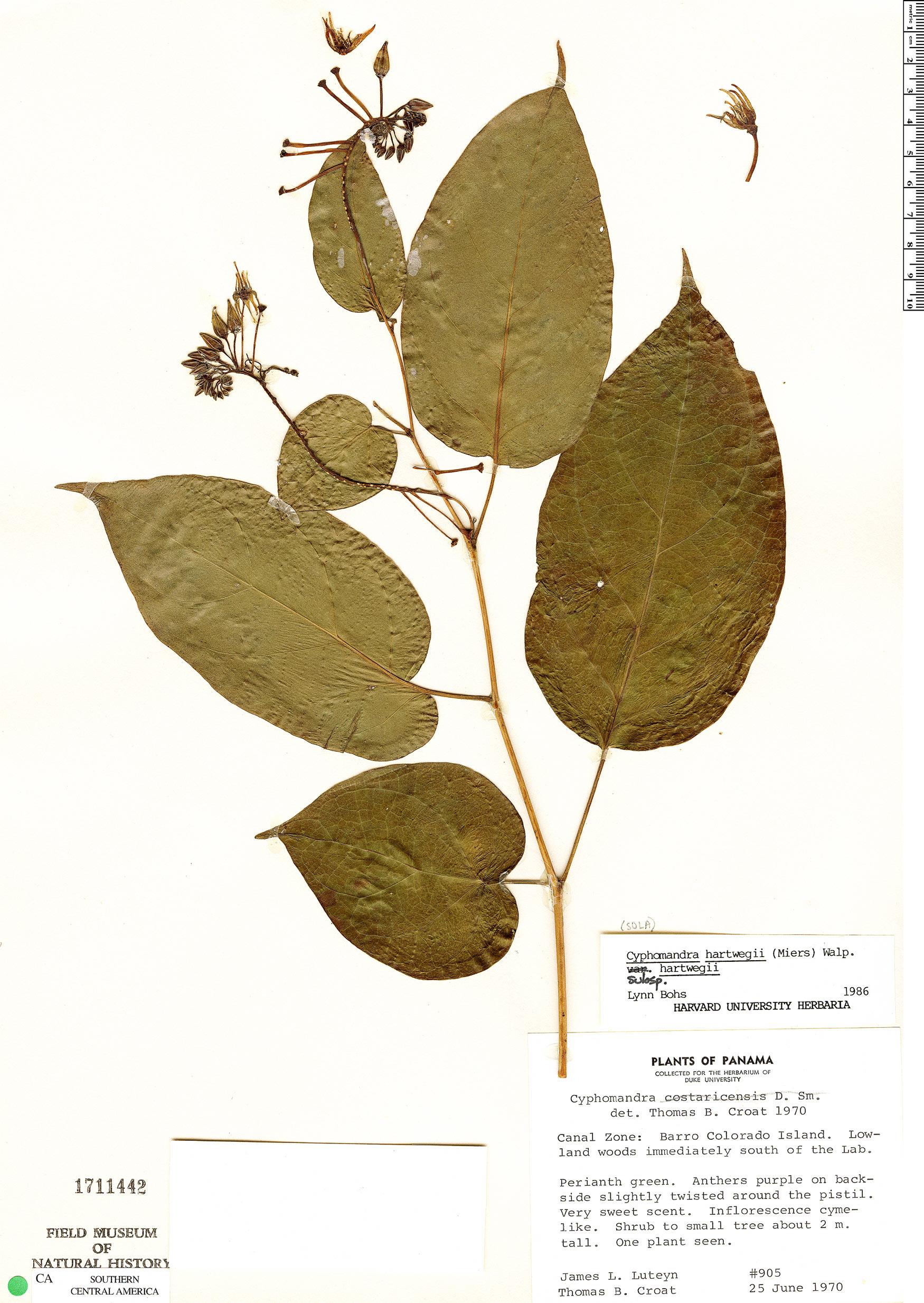 Espécimen: Solanum splendens
