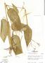 Maranta arundinacea L., Panama, J. L. Luteyn 1082, F