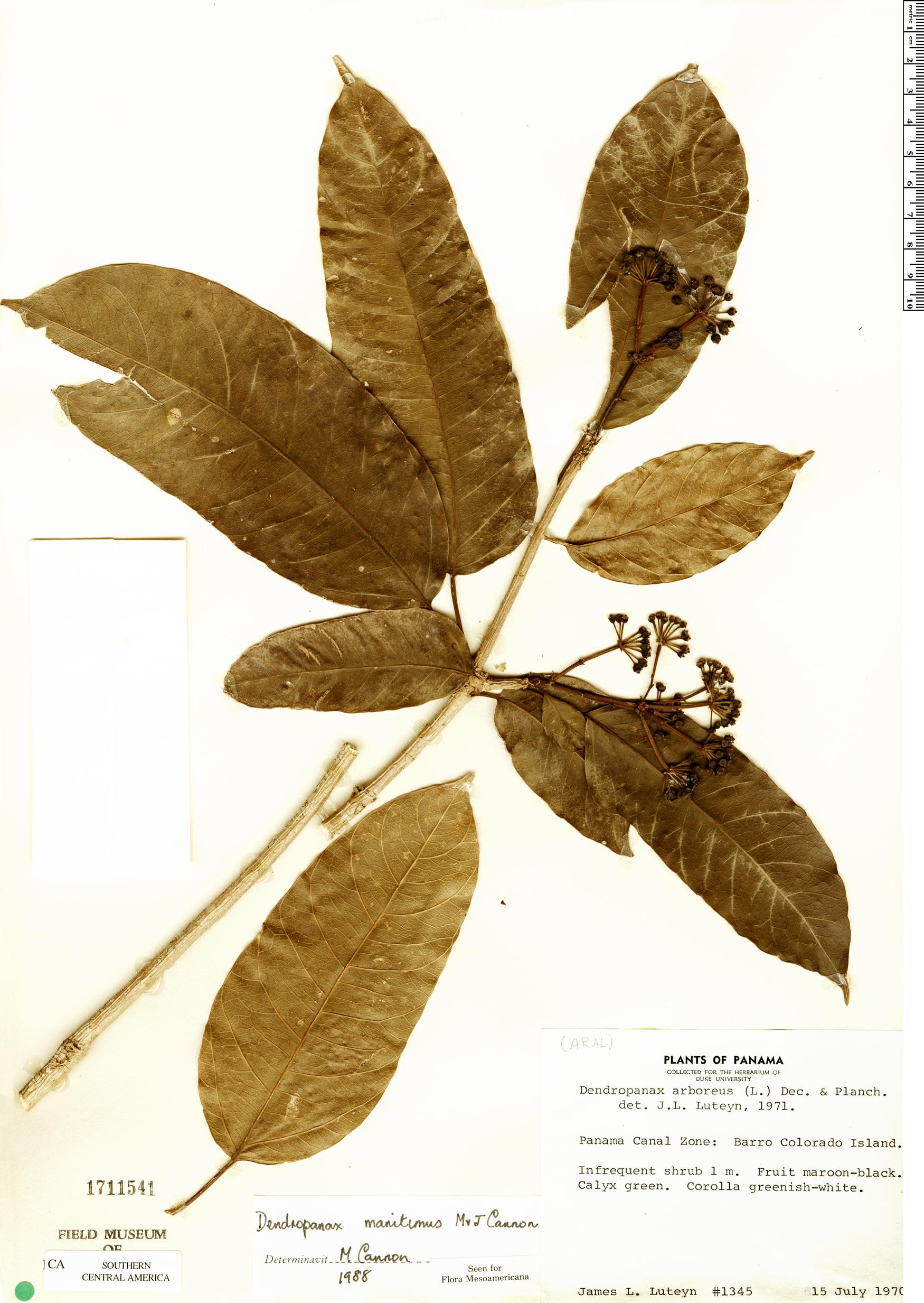 Specimen: Dendropanax stenodontus