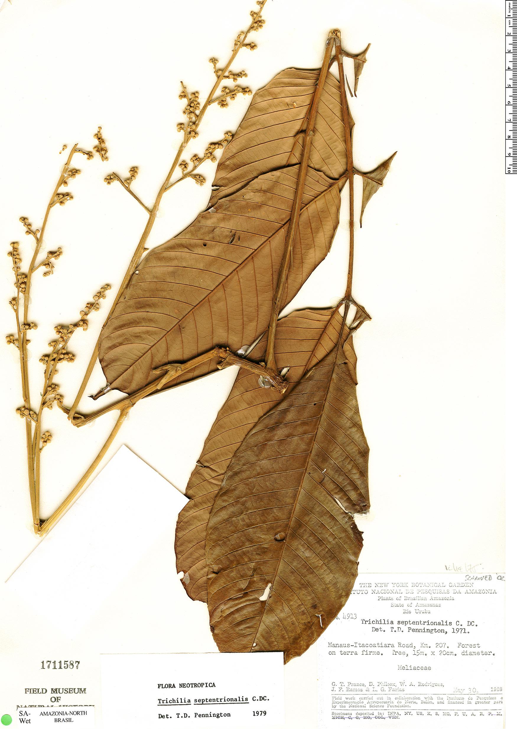 Espécime: Trichilia septentrionalis