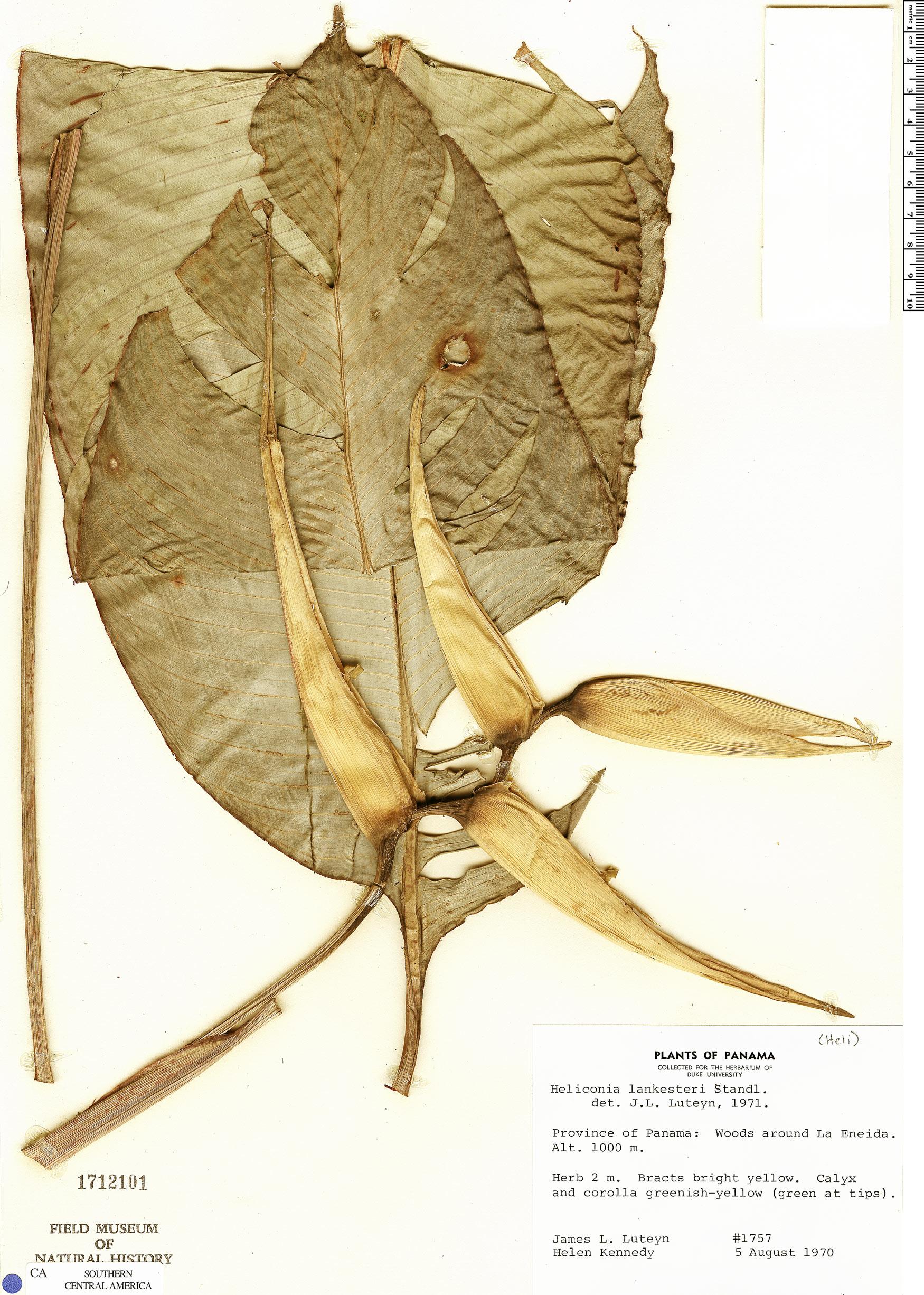 Espécimen: Heliconia lankesteri