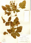 Paullinia tomentosa Jacq., Mexico, F. Ventura A. 3006, F
