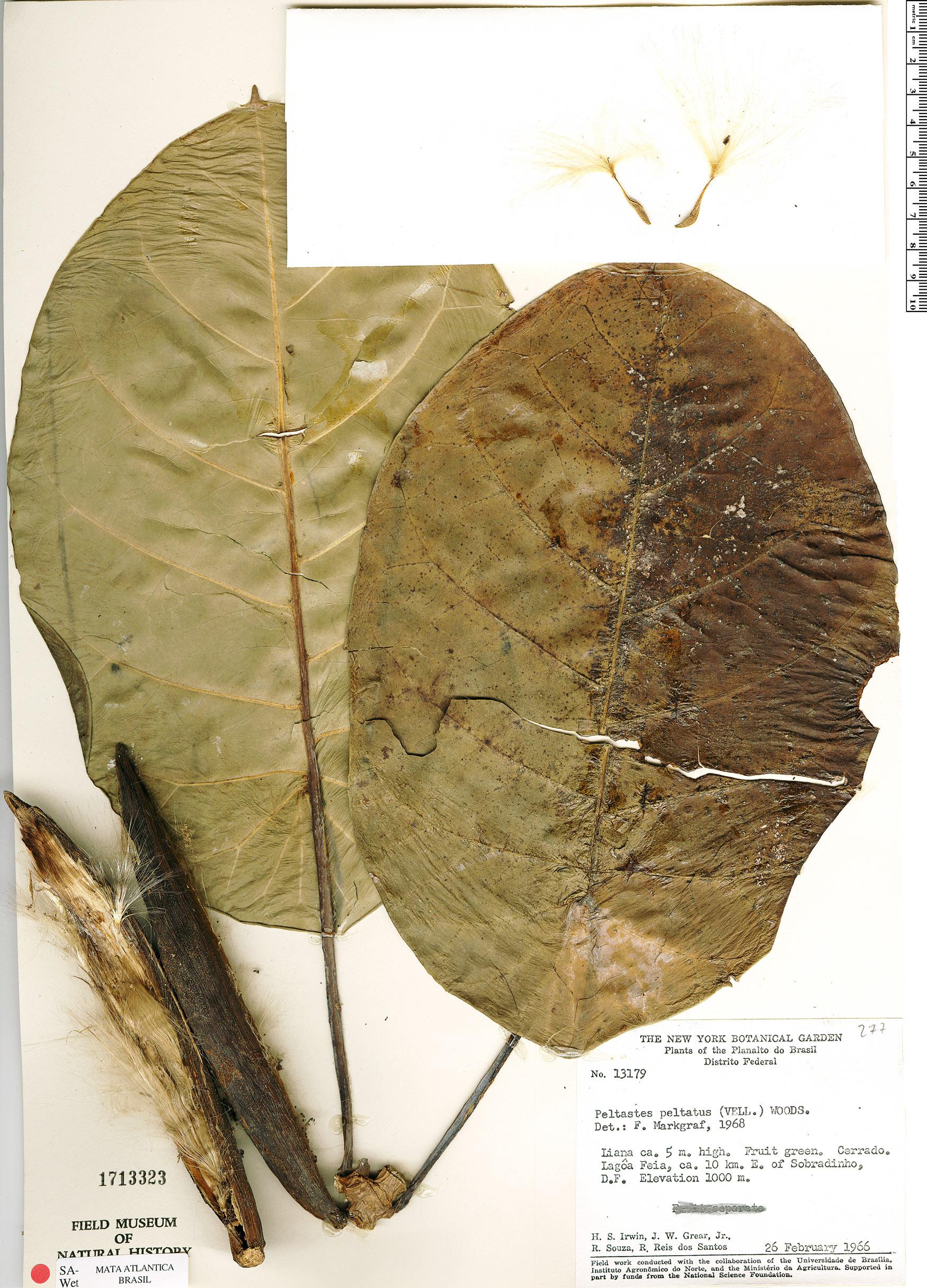Specimen: Peltastes peltatus