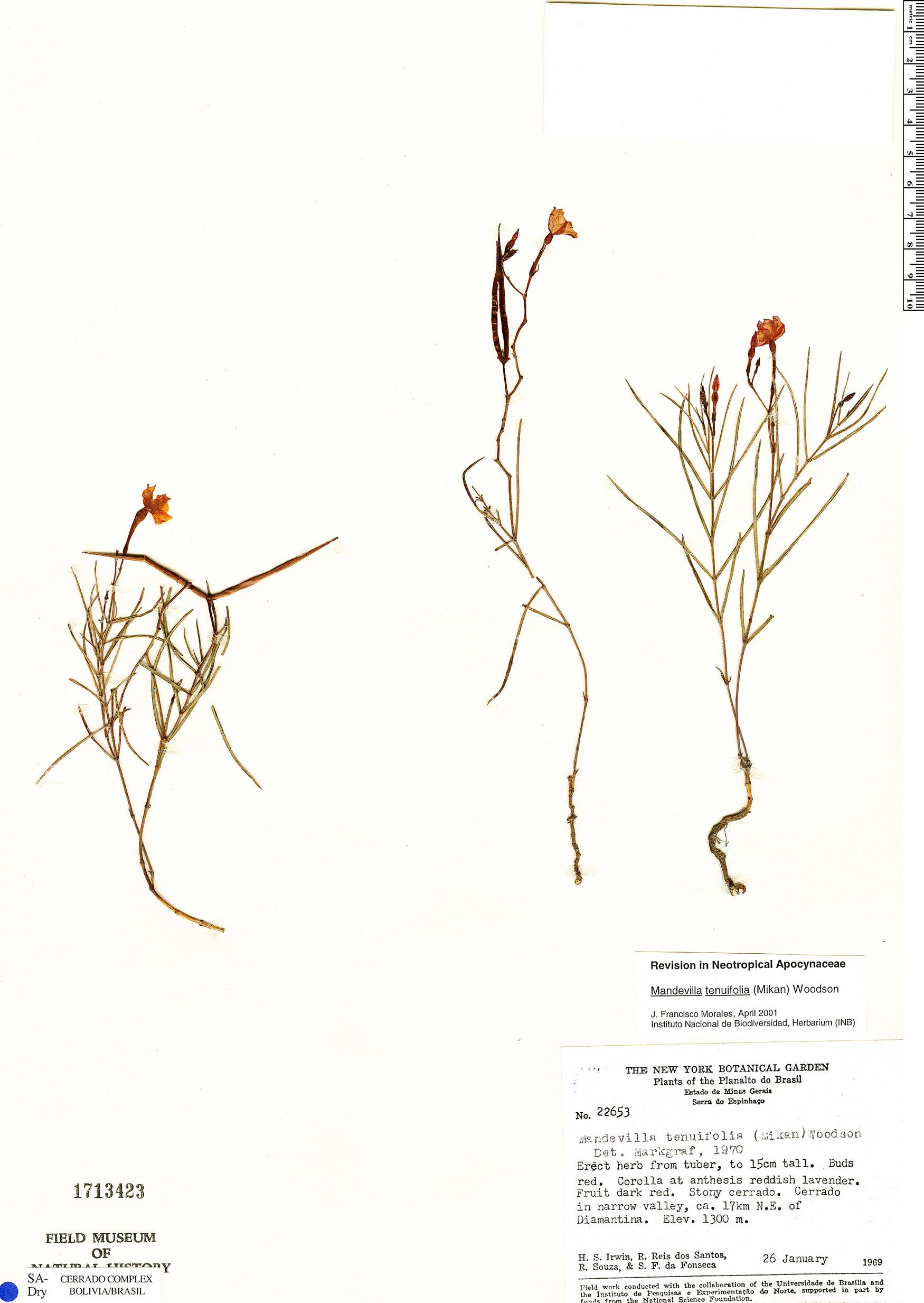 Specimen: Mandevilla tenuifolia