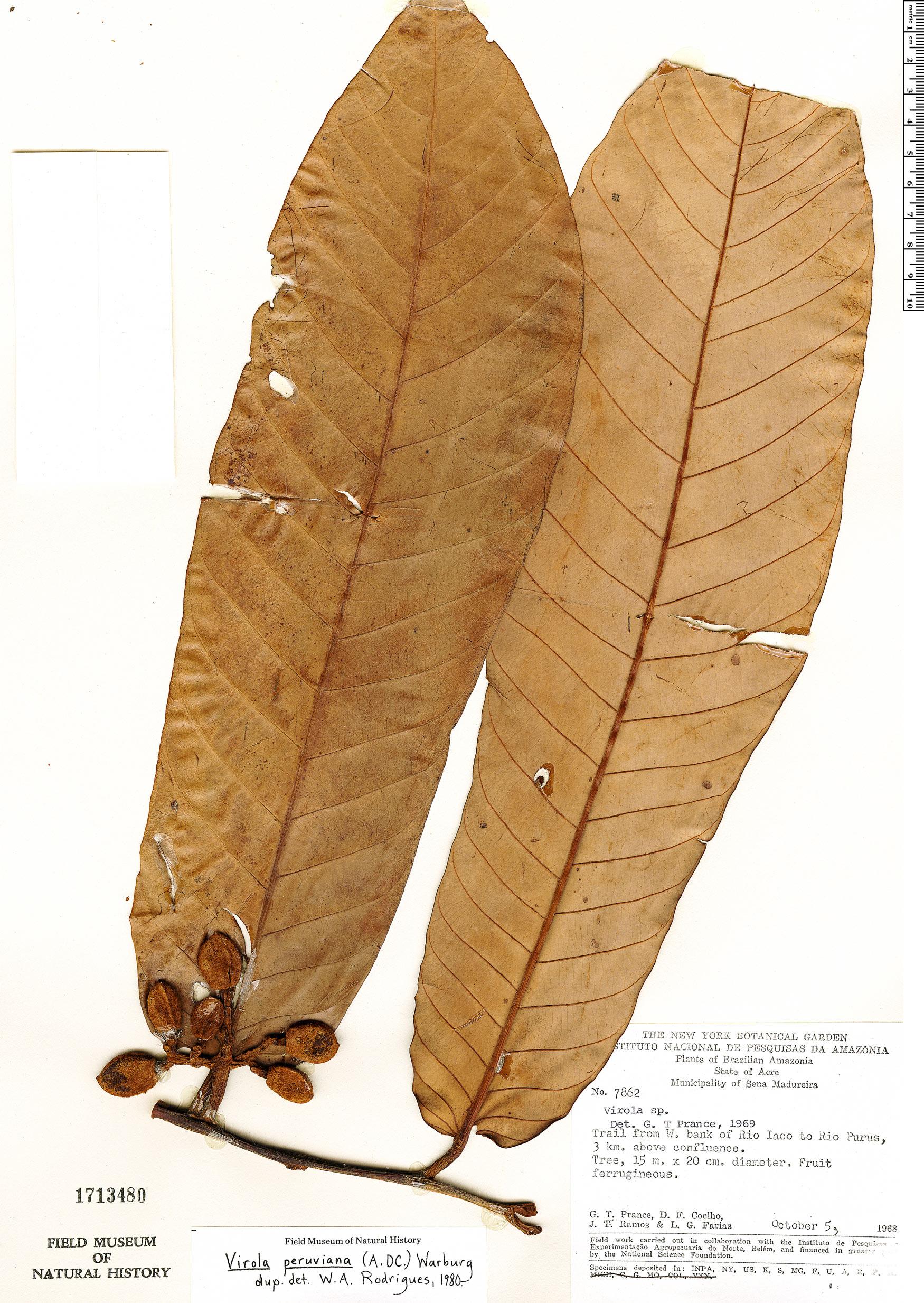 Specimen: Virola peruviana