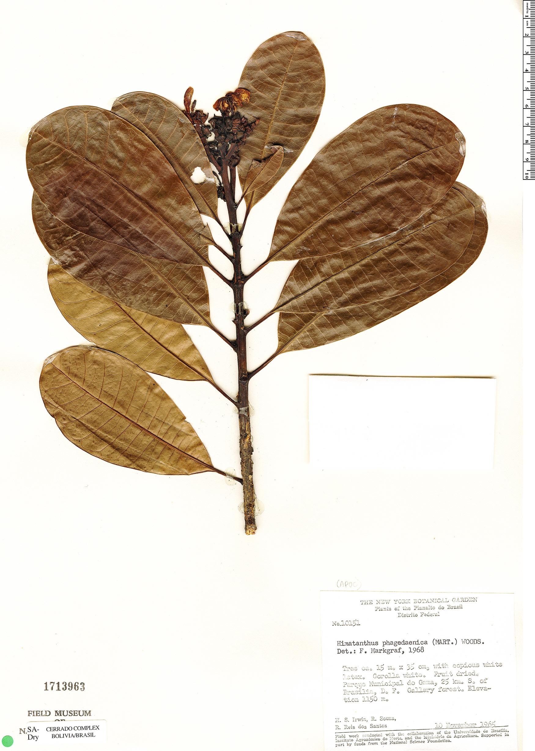 Specimen: Himatanthus drasticus