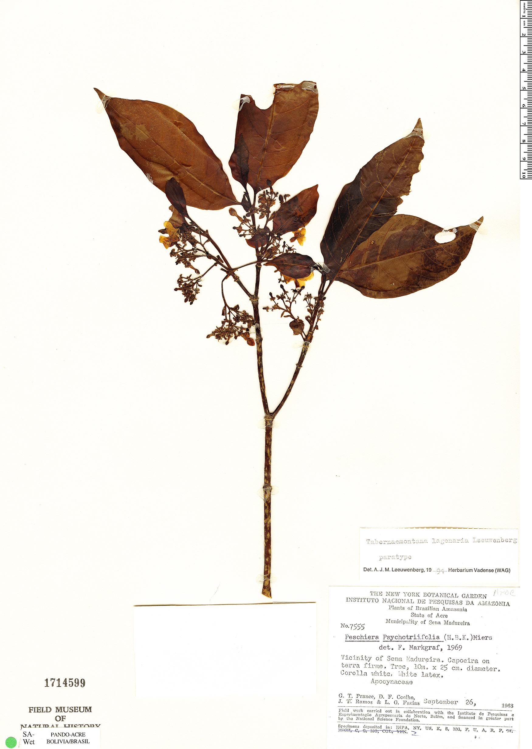 Espécime: Tabernaemontana lagenaria