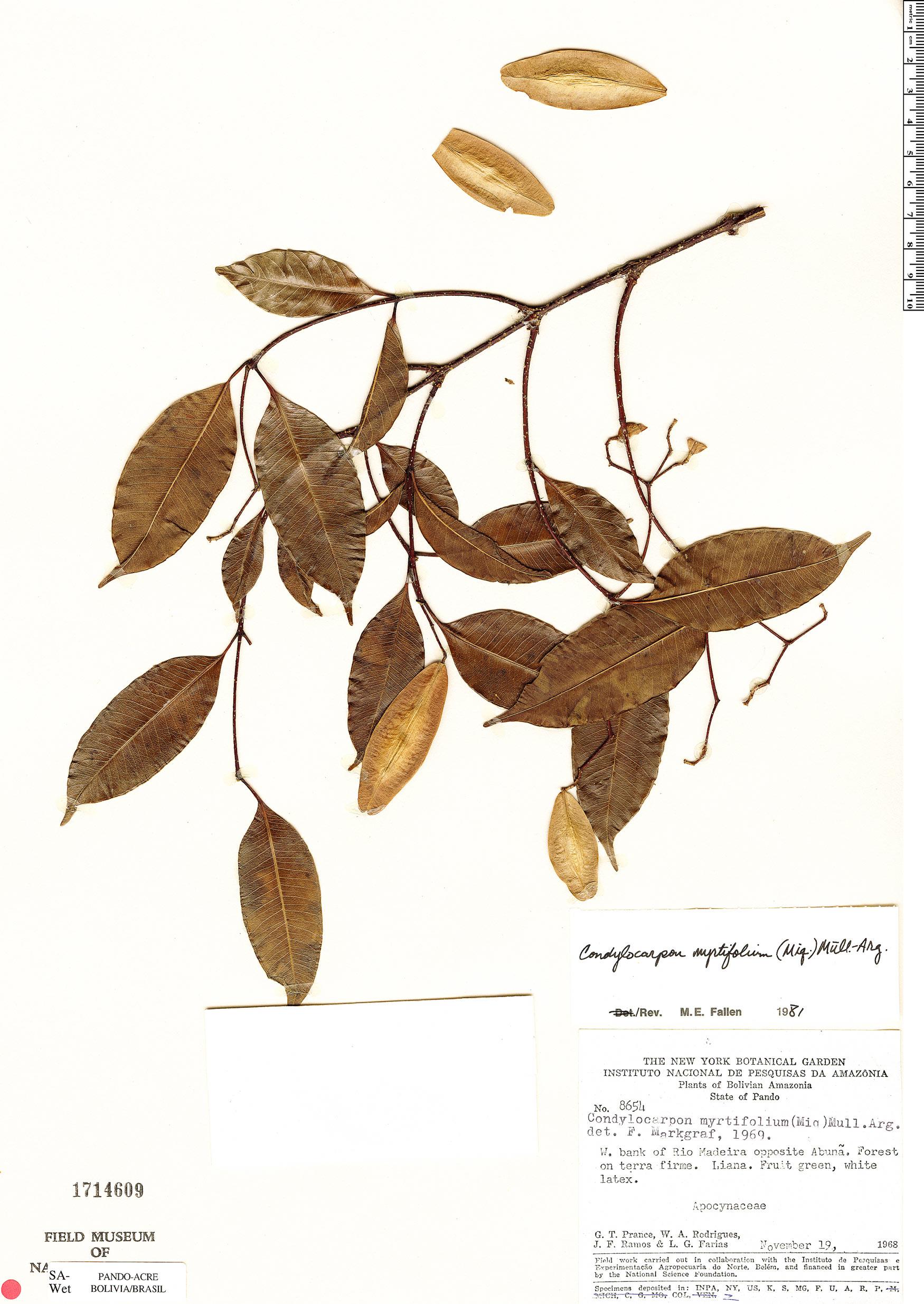 Specimen: Condylocarpon myrtifolium