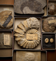 P 3642 Acanthoceras rothomagensis, Cliffe Austy, Wilts, England. Paleo Invertebrates Ammonite specimen, surrounded by other invertebrate fossil specimens in boxes with labels  including P 3646, (Fossil Sea-Urchin) Echinolampas  ovalis St. Estephe, France. From the World's Columbian Exposition of 1893.
