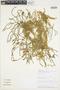 Huperzia phylicifolia image