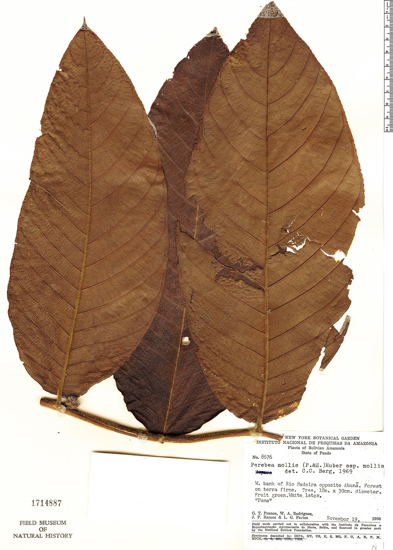 Specimen: Perebea mollis