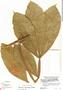 Paullinia bracteosa Radlk., Peru, M. E. Mathias 5358, F