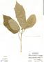 Dorstenia choconiana S. Watson, Honduras, A. Molina R. 25656, F