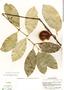 Garcinia madruno (Kunth) Hammel, Costa Rica, P. H. Allen 5553, F