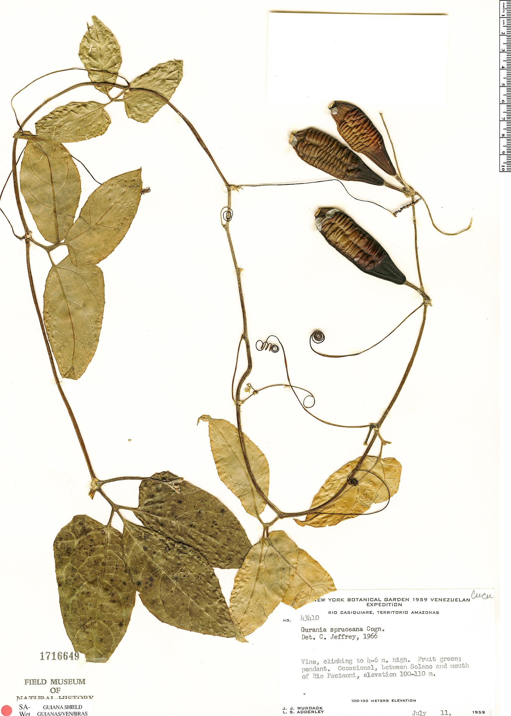 Specimen: Gurania spruceana