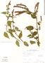 Salvia iodantha Fernald, Mexico, M. Rosas 1450, F