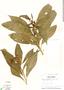 Image of Solanum imberbe
